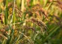 泰国黑莓果米产量稀缺