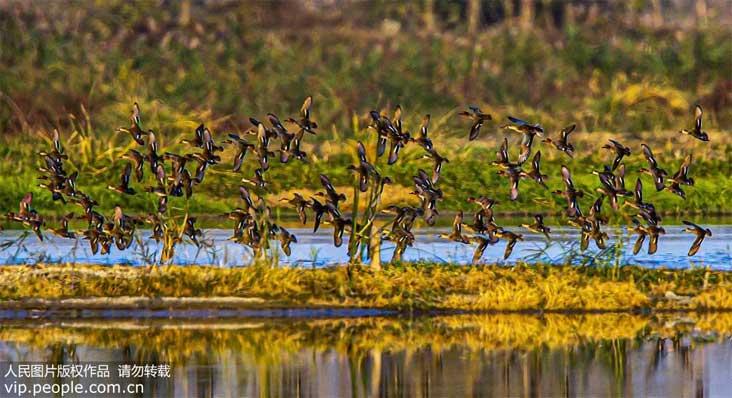 江苏泗洪表姐妹:大批候鸟抵达洪泽湖湿地